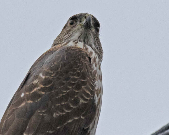 Sharp-shinned Hawk - example of a healing resource with a message