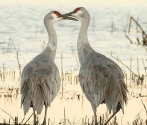 Nature Travel: A winter treat - a pair of Sandhill Cranes at sunrise