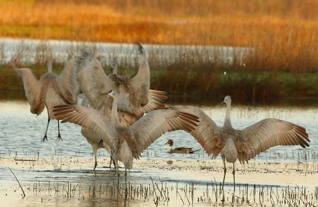 Nature Travel: A winter treat - a flock of Sandhill Cranes