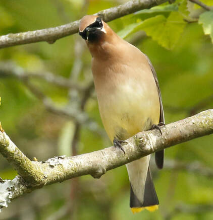 Nature Travel: Cedar Waxwing in Cannon Beach, Oregon