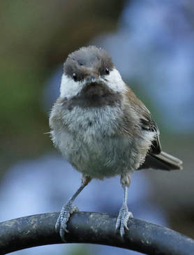 Backyard Birding: A new Chickadee fledgling finding her way in the world