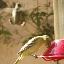 Birding: The surprise of an Orchard Oriole at the Hummingbird feeder