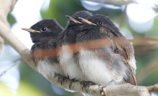 Nature Travel and birding: Newly fledged Black Phoebes share tree limb