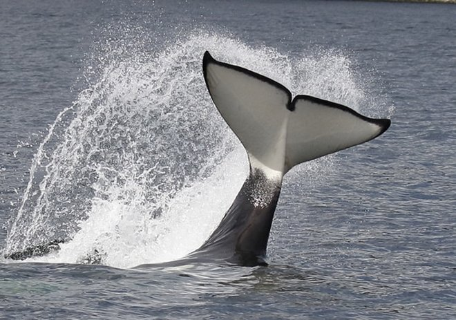 Nature Travel: Transient orca from T137 pod doing tail slap