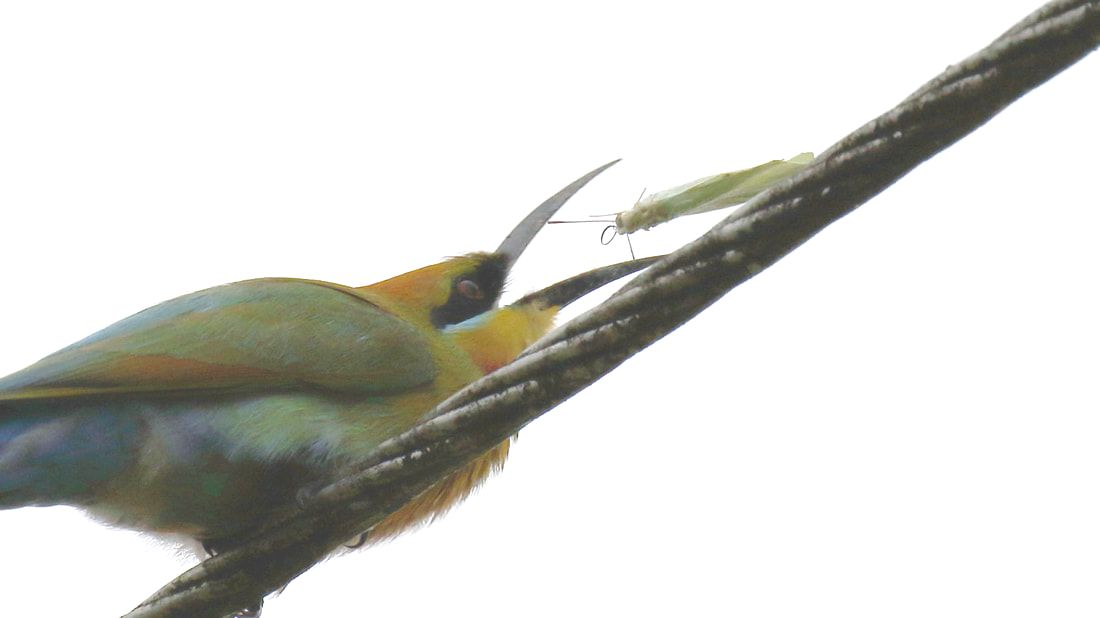 Nature travel and Birding: Rainbow Bee Eater almost loses his prey