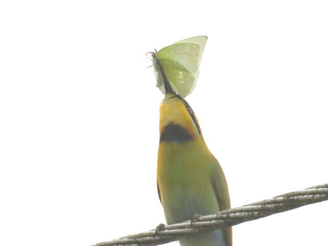Nature Travel and Birding: Rainbow Bee Eater with Butterfly