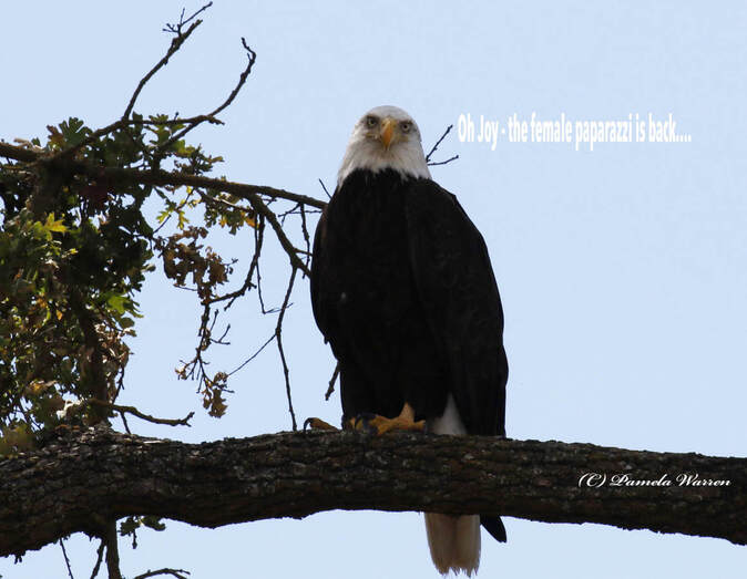 Nature travel and birding: What this Bald Eagle must be thinking
