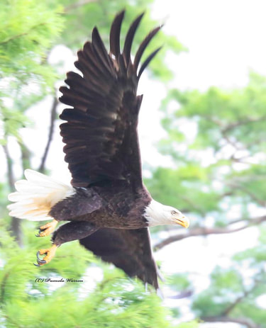 Nature Travel and birding: Bald Eagle over the Chickahominy River in Virginia