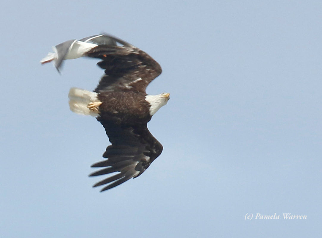 Nature Travel: Raiding Bald Eagle chased by seagull - Cannon Beach, OR