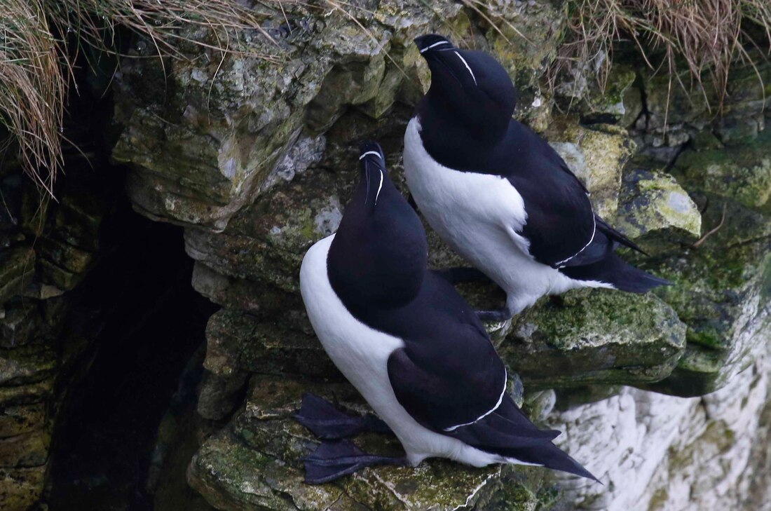 Nature Travel: A darling pair of Razorbills on cliff's edge at RSPB Bempton Cliffs, Yorkshire