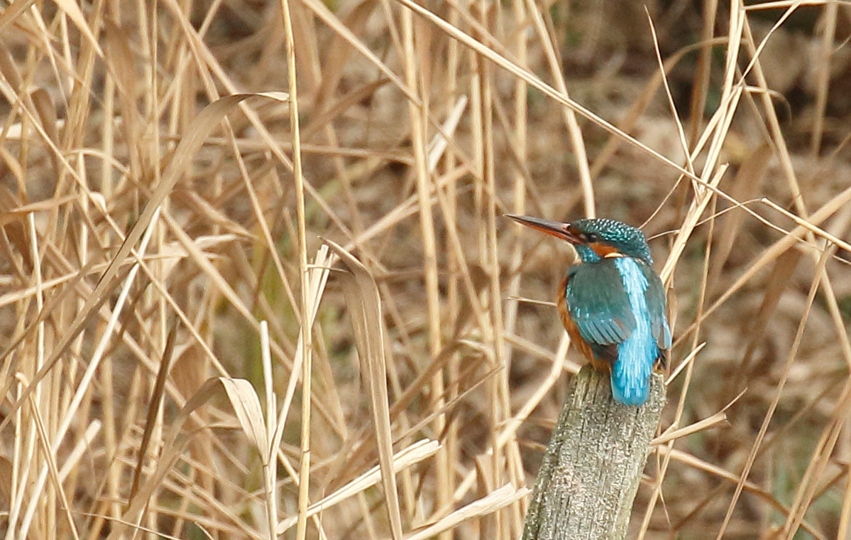 Nature Travel: Birding payoff with a Common Kingfisher I was thrilled to see at RSPB Rye Meads