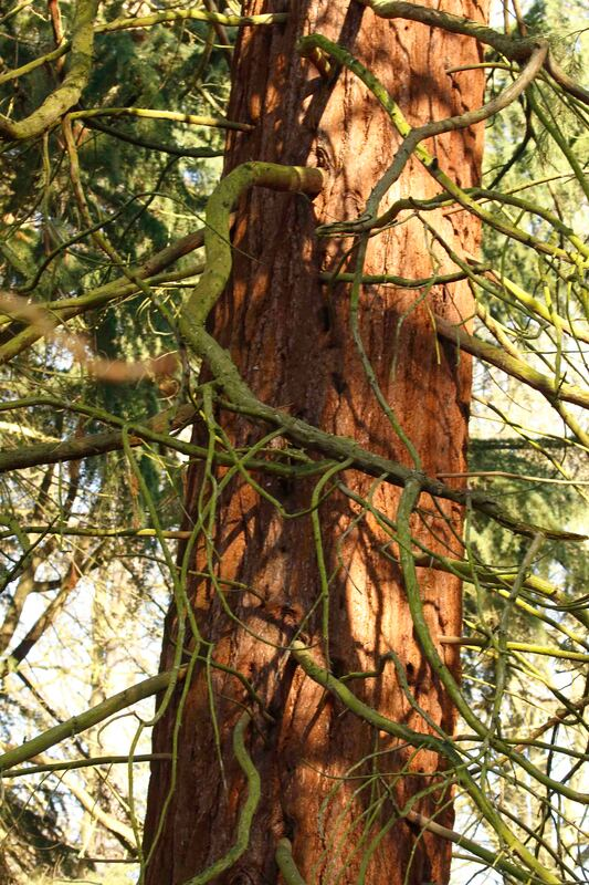 Nature Travel: An unexpected redwood in the UK - RSPB The Lodge